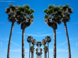 Palm Poms