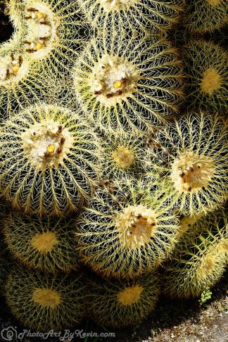 Sticky Barrel Cactus
