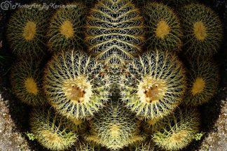 Cacti + Cact-u = Cactus