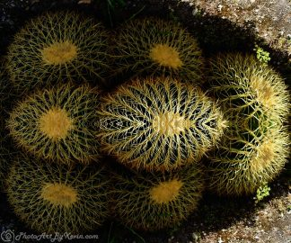 Hiding Cactus