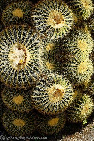 Cacti Majesti