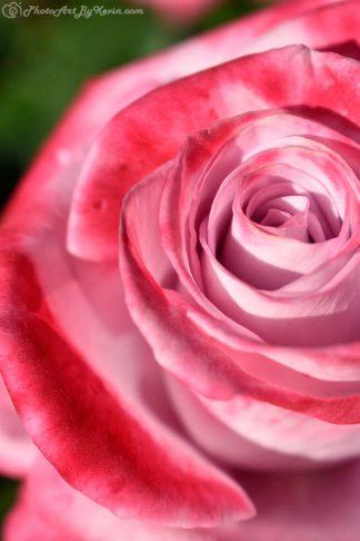 Circle Rose