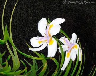 Iris Unbalanced
