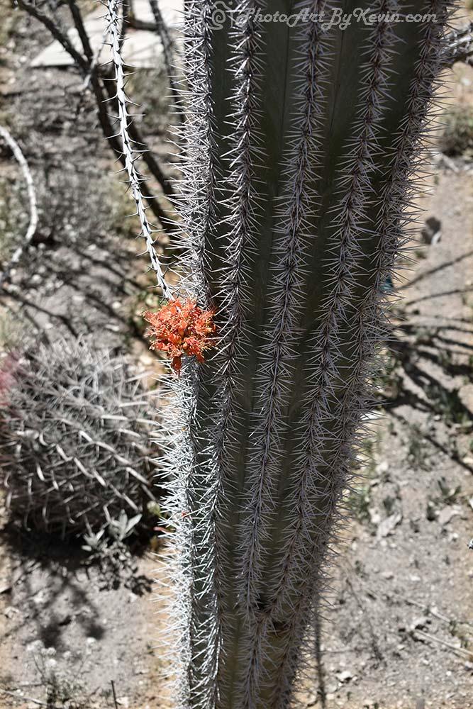 Cactus Needle Flower