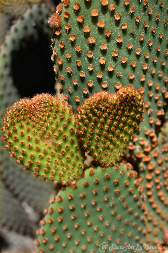 Two Heart Cacti