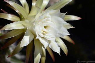 Cactus Flowering White